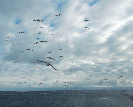 Petreles Antárticos en Weddell Sea.
