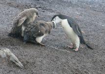 Pingüinos alimentándose.