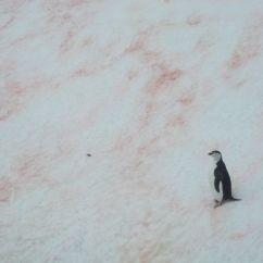 Pingüino Barbijo en la BAE Juan Carlos I.