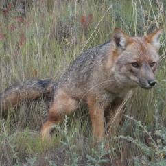 Ejemplar de Zorro Colorado, Lycalopex culpaeus lycoides (endémico de los Andes). Segundo cánido viviente más grande de Sudamérica.