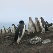 Pingüinera en la Isla Decepción.