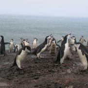 Pingüinos y polluelos en la Isla Decepción.