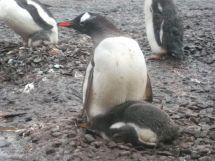 Pingüinera Papúas.