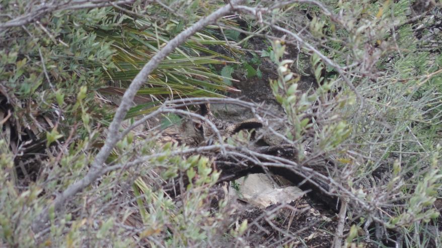 Búho real escondido o camuflado entre matorral