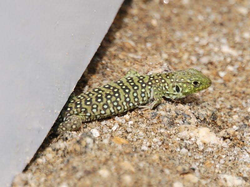 lagarto ocelado juvenil (subespecie lepidus) Valle del Jerte