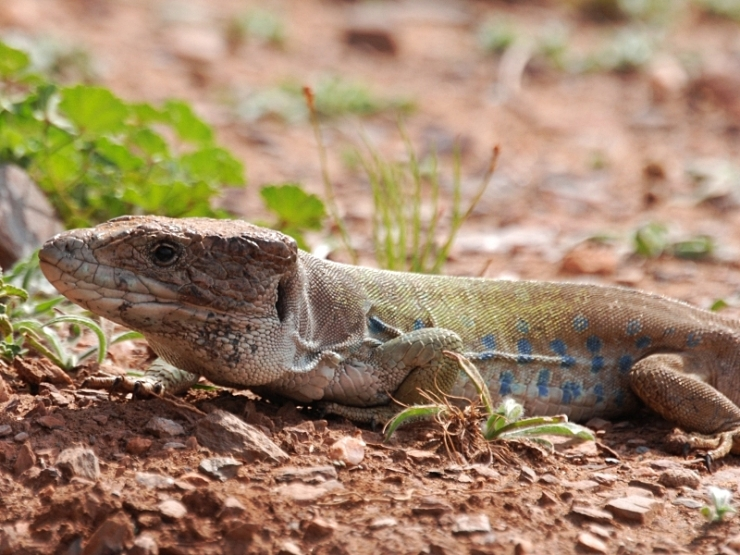 lagarto ocelado macho (subespecie nevadensis) 3
