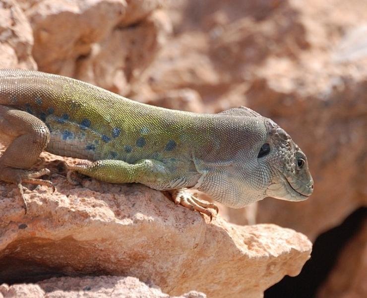 lagarto ocelado macho (subespecie nevadensis)