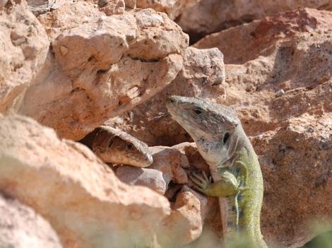 lagartos ocelados macho y hembra (subespecie nevadensis)