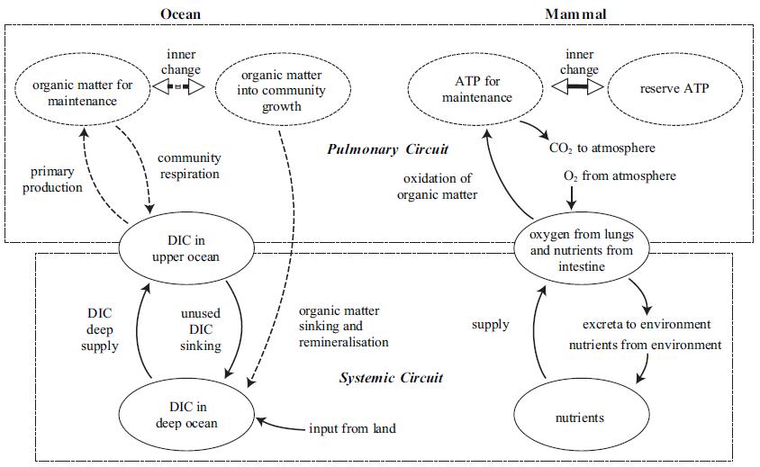 Comparativa: Sistema Oceánico – Sistema circulatorio de mamíferos.