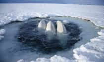 Beluga: Fuente WWF.