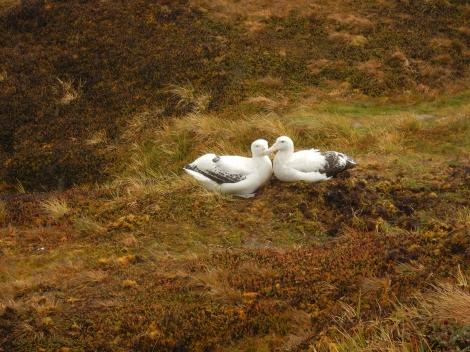 Pareja de albatros viajero. Créditos: Iris Thurnherr.