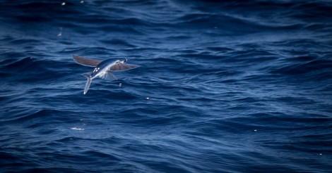 Exocétidos o peces voladores (Exocoetidae). Créditos: Martin Stoffel.