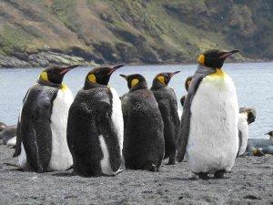 pinguinos_rey_posesion_isla