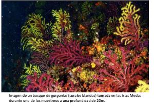 Imagen de un bosque de gorgonias (corales blandos) tomada en las islas Medas