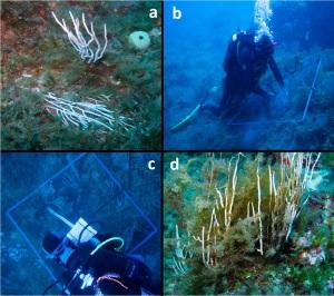 a) ejemplo de colonia tumbada, b) y c) conteo de colonias y sus características biofísicas, d) colonia con epibiontes y necrosada