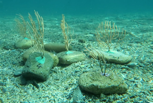 Gorgonias restauradas y devueltas al mar